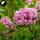 Buy Early Lilac Tree Seed 60pcs Plant Chinese Syringa Oblata Tree Zi Ding Xiang