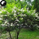Buy Manchurian Lilac Tree Seeds 240pcs Plant Chinese Syringa Reticulata Tree