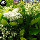 Buy Manchurian Lilac Tree Seeds 120pcs Plant Chinese Syringa Reticulata Tree