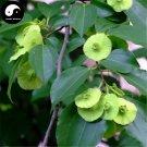 Buy Paliurus Hemsleyanus Tree Seeds 240pcs Plant Chinese Coin Tree