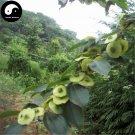 Buy Paliurus Hemsleyanus Tree Seeds 120pcs Plant Chinese Coin Tree