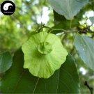 Buy Paliurus Hemsleyanus Tree Seeds 60pcs Plant Chinese Coin Tree