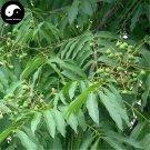 Buy Sapindus Tree Seeds 16pcs Plant Chinese Sapindus Mukurossi Gaertn Wu Huan Zi