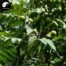 Buy Sapindus Tree Seeds 8pcs Plant Chinese Sapindus Mukurossi Gaertn Wu Huan Zi