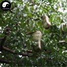 Buy Afzelia Xylocarpa Tree Seeds 6pcs Plant Ficus Religiosa Bodhi Tree Puti