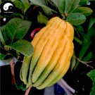 Buy Citrus Medica Sarcodactylis Tree Seeds 60pcs Plant Citron Bergamot Tree