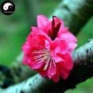 Buy Winter Sweet Prunus Mume Tree Seeds 120pcs Plant Red Plum Blossom La Mei