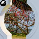 Buy Winter Sweet Prunus Mume Tree Seeds 30pcs Plant Red Plum Blossom La Mei