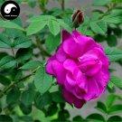 Buy Red Thorn Rosa Rugosa Tree Seeds 60pcs Plant Rosa Multifloravar Ci Mei