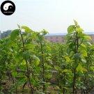 Buy Morus Alba Tree Seeds 400pcs Plant Mulberry Leaf For Silkworm Food Sang Shu