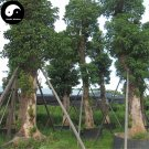 Buy Bischofia Polycarpa Tree Seeds 240pcs Plant Java Bishopwood Chong Yang Mu