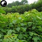 Buy Bischofia Polycarpa Tree Seeds 60pcs Plant Java Bishopwood Chong Yang Mu