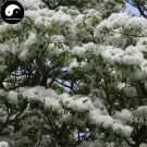 Buy Tassel Tree Seeds 60pcs Plant Chionanthus Retusus Liu Shu Tree
