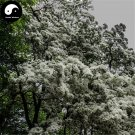 Buy Tassel Tree Seeds 15pcs Plant Chionanthus Retusus Liu Shu Tree