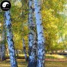 Buy White Birch Tree Seeds 200pcs Plant Betula Platyphylla Suk Bai Hua Shu