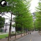 Buy Terminalia Mantaly Tree Seeds 60pcs Plant Madagascar Almond Tree