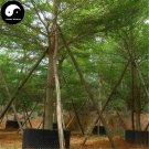 Buy Terminalia Mantaly Tree Seeds 15pcs Plant Madagascar Almond Tree