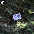 Buy Cephalotaxus Fortunei Tree Seeds 32pcs Plant Cedar Fortune Plumyew Tree