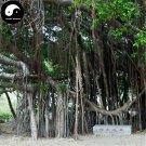 Buy Ficus Concinna Tree Seeds 100pcs Plant Ficus Benjamina Tree Xiao Ye Rong