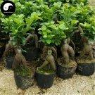 Buy Ficus Microcarpa Tree Seeds 100pcs Plant Roots Ginseng Ficus Bonsai