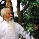 Buy Torreya Grandis Merrillii Tree Seeds 24pcs Plant Taxaceae Nut Tree Xiang Fei