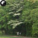 Buy Bothrocaryum Controversum Tree Seeds 200pcs Plant Cornus Controversa Tree