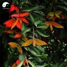 Buy Sterculia Nobilis Smith Tree Seeds 40pcs Plant Fruit Tree Chinese Ping Po