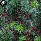 Buy Taxus Chinensis Tree Seeds 60pcs Plant Chinese Yew Tree Hong Dou Shan