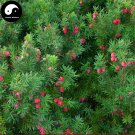 Buy Taxus Chinensis Tree Seeds 120pcs Plant Chinese Yew Tree Hong Dou Shan