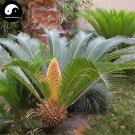 Buy Cycas Revoluta Tree Seeds 4pcs Plant Iron Tree Chinese Cycas Tie Shu