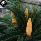 Buy Cycas Revoluta Tree Seeds 8pcs Plant Iron Tree Chinese Cycas Tie Shu