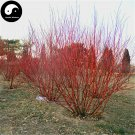 Buy Swida Alba Opiz Tree Seeds 120pcs Plant Cornus Alba Tree Hong Rui Mu