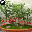 Buy Ardisia Crenata Sims Tree Seeds 30pcs Plant Fu Gui Zi Bonsai For Rich