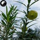 Buy Asclepias Fruticosa Tree Seeds 60pcs Plant Qi Qiu Guo Bonsai
