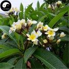 Buy Plumeria Rubra Tree Seeds 120pcs Plant Yolk Flower For Egg Flower