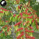 Buy Lonicera Maackii Tree Seeds 240pcs Plant Amur Honeysuckle Jin Yin Mu
