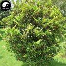Buy Distylium Racemosum Tree Seeds 240pcs Plant Shrub Tree Wen Mu Shu