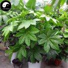 Buy Fatsia Japonica Tree Seeds 120pcs Plant Shrub Tree Ba Jiao Jin Pan