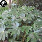 Buy Fatsia Japonica Tree Seeds 60pcs Plant Shrub Tree Ba Jiao Jin Pan