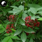 Buy Sambucus Williamsii Tree Seeds 120pcs Plant Williams Elder Tree Jie Gu Mu