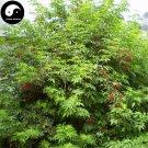 Buy Sambucus Williamsii Tree Seeds 240pcs Plant Williams Elder Tree Jie Gu Mu