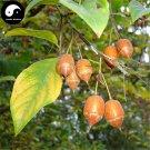 Buy Sinojackia Xylocarpa Tree Seeds 3pcs Plant Weight Tree Chen Chui Shu