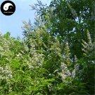 Buy Vitex Negundo Tree Seeds 200pcs Plant Shrub Tree Stem Jing Tiao