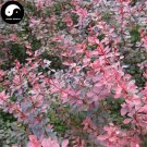 Buy Berberis Thunbergii Tree Seeds 400pcs Plant Shrub Tree Berberis Xiao Bo