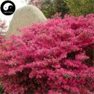 Buy Loropetalum Chinense Tree Seeds 240pcs Plant Loropetalum Tree Hong Ji Mu