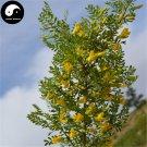 Buy Caragana Korshinskii Tree Seeds 120pcs Plant Korshinsk Peashrub Ning Tiao