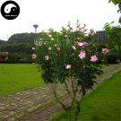 Buy Hibiscus Syriacus Tree Seeds 120pcs Plant Chinese Rose Mu Jin