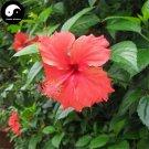Buy China Rose Hibiscus Tree Seeds 60pcs Plant Chinese Rose Mallow Zhu Jin