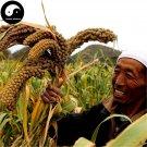 Buy Millet Seeds 1200pcs Plant Chinese Herb Food Millet For Grain Millet