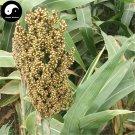 Buy White Sorghum Seeds 400pcs Plant Chinese Grain Sorghum Gao Liang